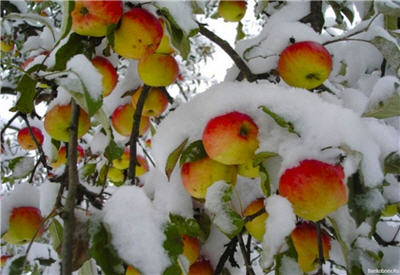apple na snow